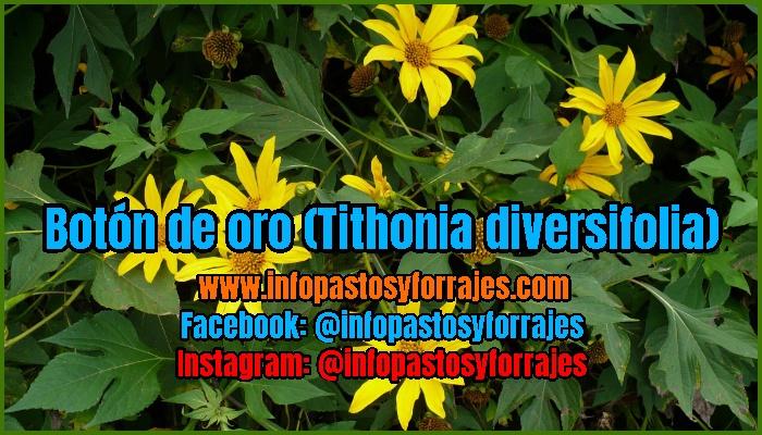 Leguminosa Arbustiva Botón de oro (Tithonia diversifolia)