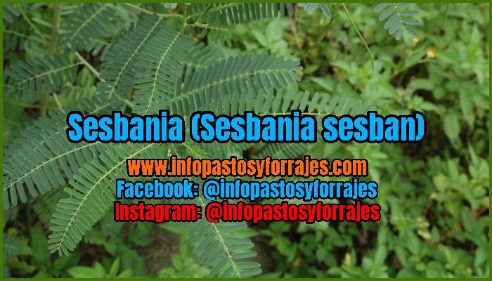 Leguminosa Arbustiva Sesbania (Sesbania sesban)