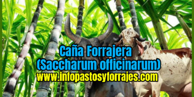Caña Forrajera (Saccharum officinarum)
