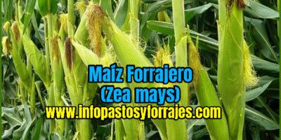 Maíz Forrajero (Zea mays)