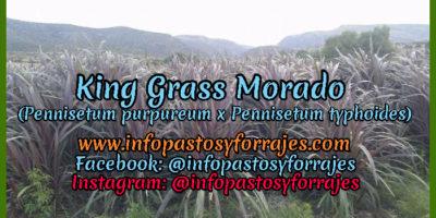 Pasto de Corte King Grass Morado (Pennisetum purpureum x Pennisetum typhoides)