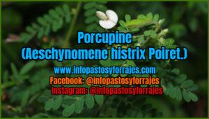 Broboustive Porcupine (Aeschynomene Histrix Poiret.)