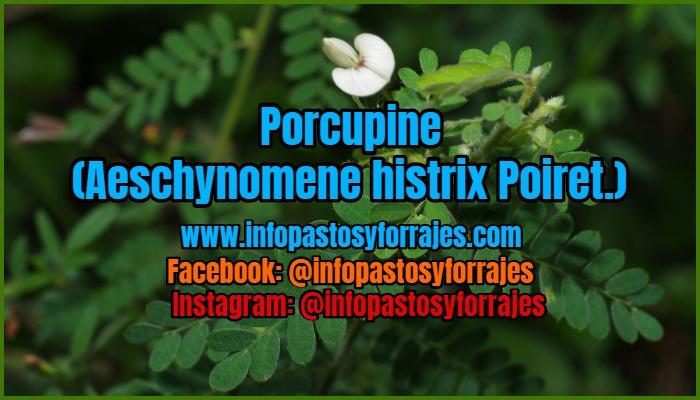 Leguminosa Arbustiva Porcupine (Aeschynomene histrix Poiret.)