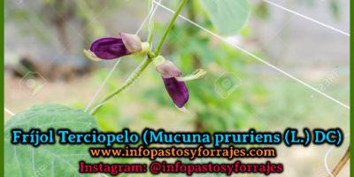 Leguminosa Fríjol Terciopelo