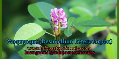 Leguminosa Maquenque (Desmodium heterocarpon )