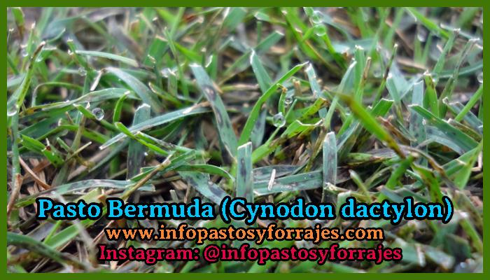 Pasto Bermuda (Cynodon dactylon)
