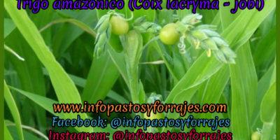 Pasto Trigo amazónico (Coix lacryma - jobi)