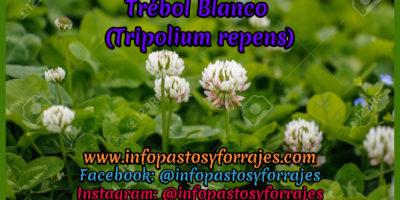 Leguminosa Trébol Blanco (Tripolium repens)