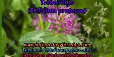 Leguminosa Trébol Rojo (Trifolium pratense)