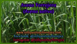 Pasto Avena Forrajera (Avena sativa)