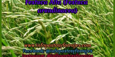 Pasto Festuca Alta (Festuca arundinacea)