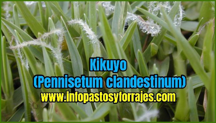 Pasto Kikuyo (Pennisetum clandestinum)