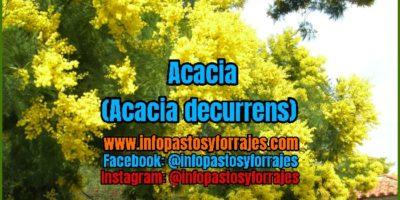 Árbol Forrajero Acacia (Acacia decurrens)