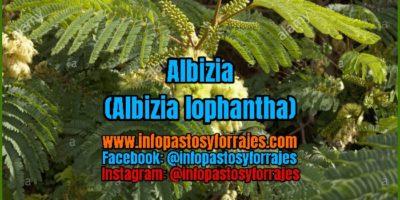 Árbol Forrajero Albizia (Albizia lophantha)