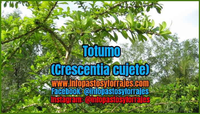 Árbol Forrajero Totumo (Crescentia cujete)