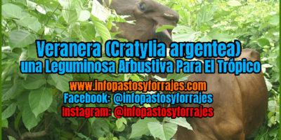 Leguminosa Arbustiva Veranera (Cratylia argentea)
