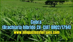 Pasto Cobra (Brachiaria hibrido CV. CIAT BR02/1794)