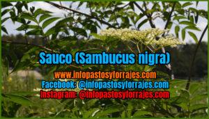 Sauucous leguminosa arbustiva (Sambucus nigra)