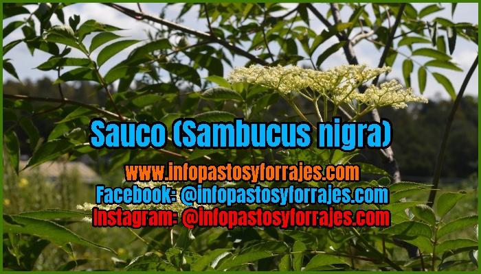 Legumnosa Arbustiva Sauco (Sambucus nigra)