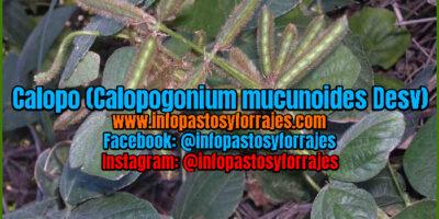 Leguminosa Calopo (Calopogonium mucunoides Desv)