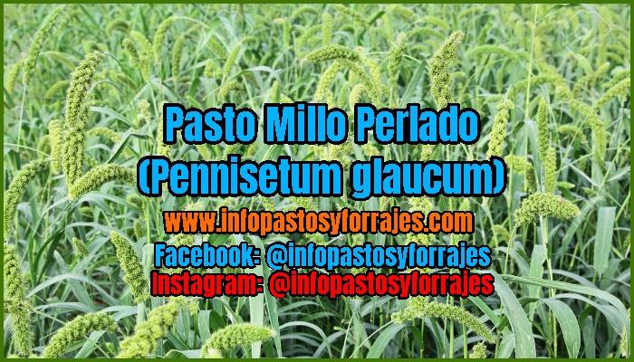 Pasto Millo Perlado (Pennisetum glaucum)