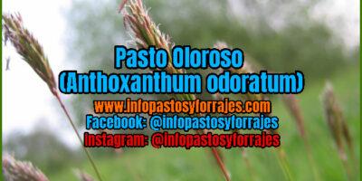 Pasto Oloroso (Anthoxanthum odoratum)