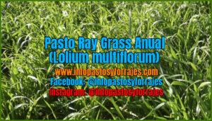 Pasto Ray Grass Anual (Lolium multiflorum)