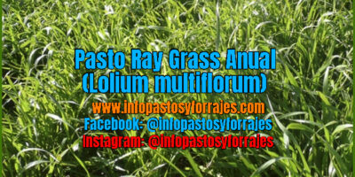 Pasto Ray Grass Anual (Lolium multiflorum)