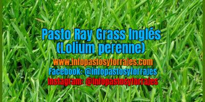 Pasto Ray Grass Inglés (Lolium perenne)