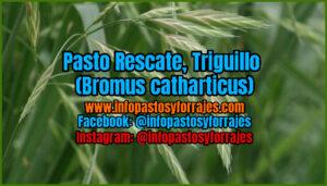 Pasto Rescate (Bromus catharticus)